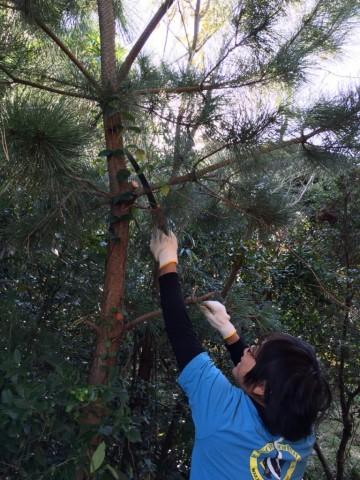 場内の松から枝を調達します