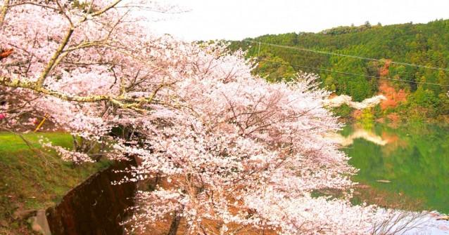 古座川町 佐田の桜